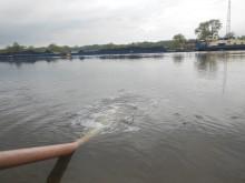 Zarybienie smoltem troci i łososia maj 2013